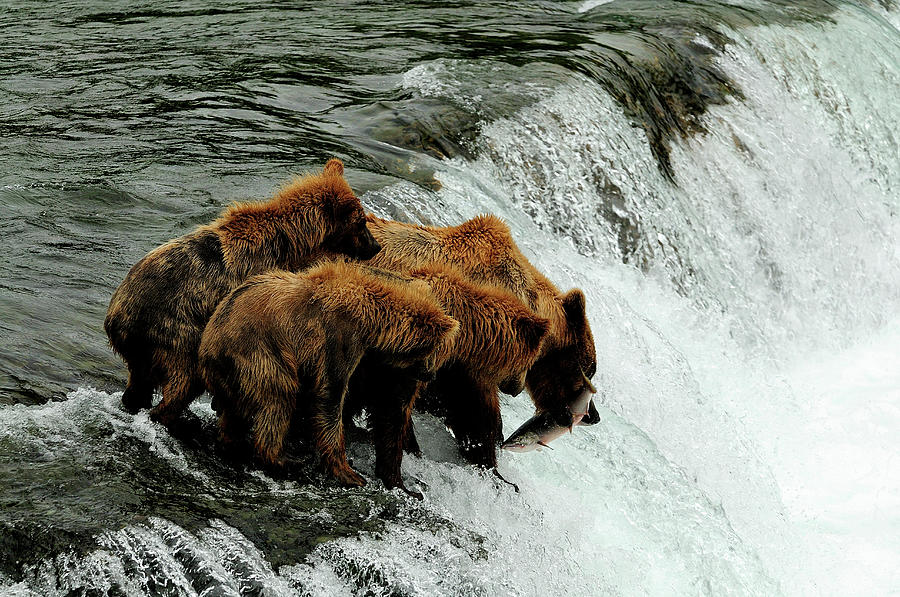 Grizzly bears catching salmons